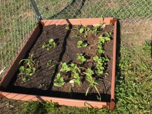 EHES school garden.  Funded through the CDC 1305 grant